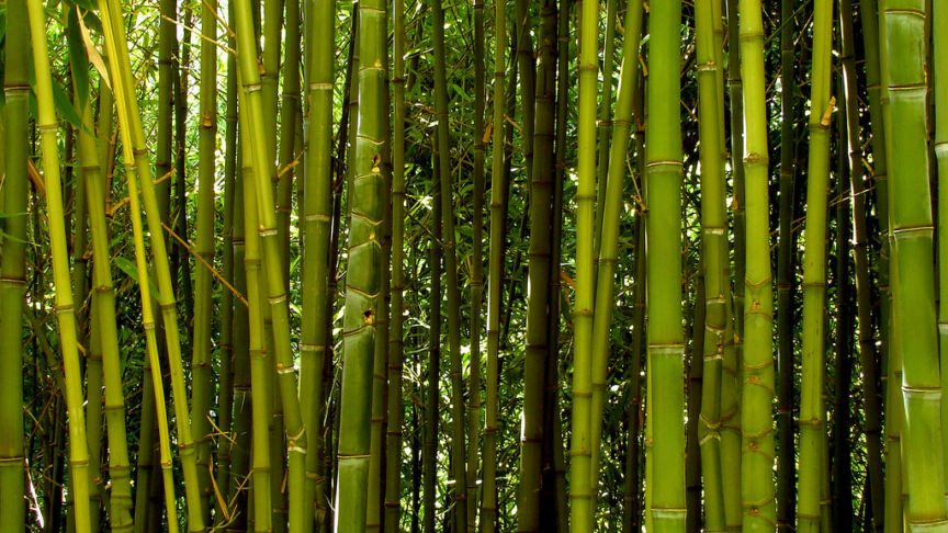 Bamboo by Guido612 (CC BY 2.0)